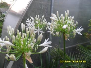 agapanthus africanus schmucklilie weisseliebesblume exotische samen keine gmo oder hybriden. Black Bedroom Furniture Sets. Home Design Ideas