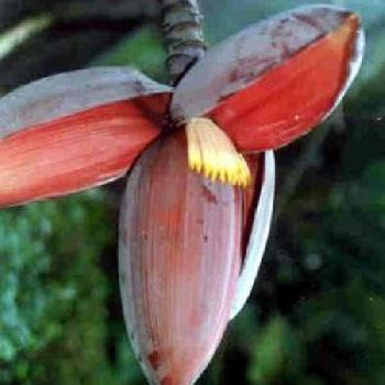 Musa balbisiana Gigantea, Banana, tropical feeling for your garden ! 10 seeds