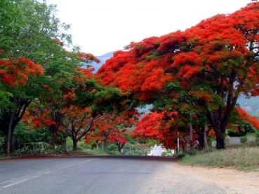 Delonix Regia, flame tree, 5 seeds