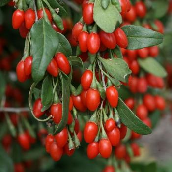Goji berry, hardy 20 seeds