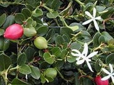 Natal Plum, Carissa macrocarpa, an outstanding shrub, edible fruits, 10 seeds