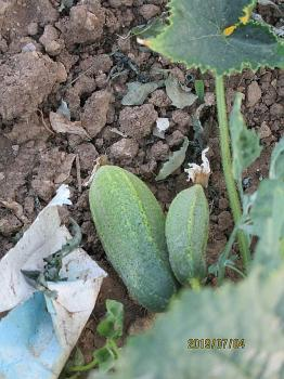 Hungarian juicy large cucumber, 10 seeds - Kopie