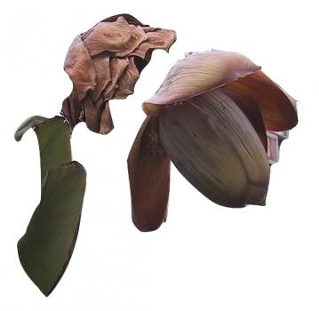Ensete Superbum, hard to find, 5 seeds