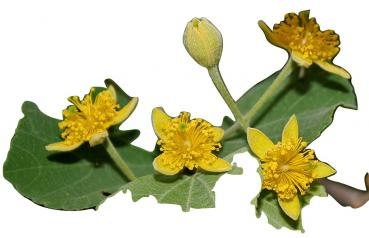 Grewia optiva, rare and beatiful yellow flower, 10 seeds
