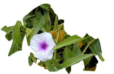 Ipomoea aquatica, edible plant, 20 seeds