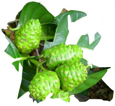 Morinda citrifolia, Noni, rare offered seeds, fruit plant, 10 seeds