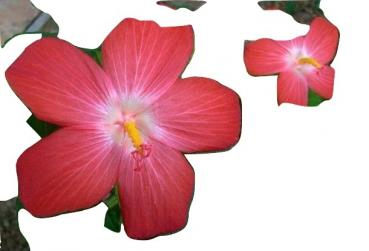 Abelmoschus moschatus, stunning flower, for incense, 20 seeds