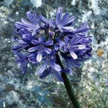 Agapanthus africanus, love flower, 10 fresh seeds BLUE