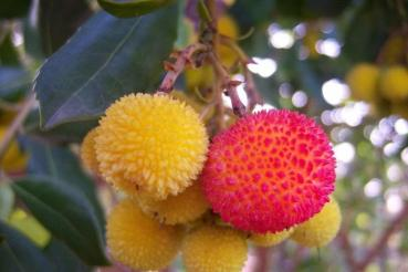 arbutus unedo, Strawberry Tree, 10 seeds