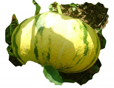 Hungarian Buen Gusto squash, organic from our farm, 5 seeds