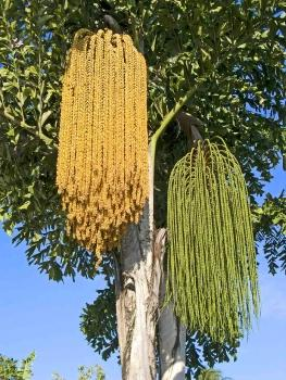 Caryota urens, fishtail palm, 5 seeds