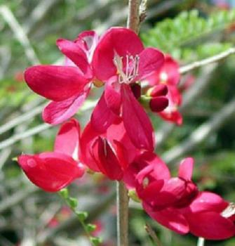 CASSIA GRANDIS,Senna, Senna grandis, Coral Shower Tree, exotic pink cassia, bright flower, 10 seeds