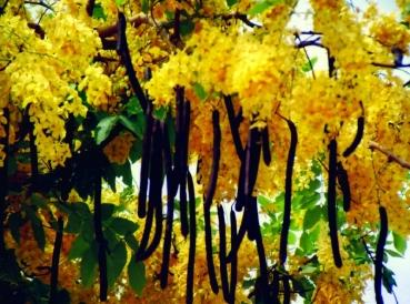 Cassia Fistula, yellow flower, 10 seeds