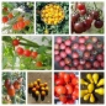 Historical Hungarian Cherry Tomatoes, 10 different varieties separately packed, 100 seeds, organic, BIO hu-öko-01