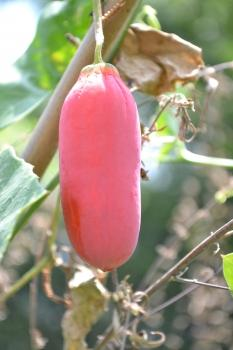 Coccinia Grandis, edible leaves and fruits for Thai kitchen, 10 seeds