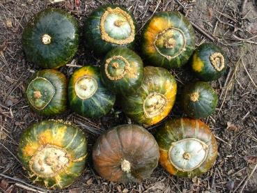 Hungarian Diskus Squash, ideal for barbecue, organic from our farm, 5 seeds
