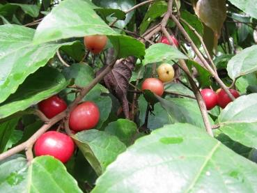 Flacourtia jangomas, Indian plum, coffee plum, 10 seeds