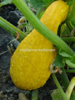 Hungarian yellow honey squash, organic from our farm, 10 seeds