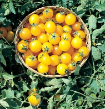 "Hungarian Tomatoe ""Gold Nugget"", is growing as a shrub, BIO hu-öko-01"