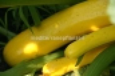 Hungarian golden  zucchini, squash, fast growing, high yield, organic from our farm, 10 seeds