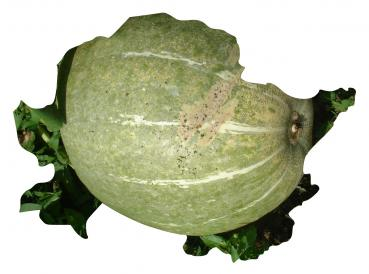 Hungarian Pula squash for BBQ, organic from our farm, 5 seeds