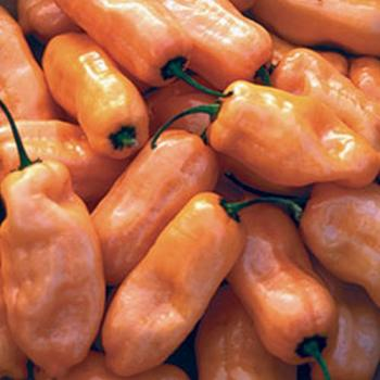 "Hungarian  Pepper ""Habanero Orange"", organic"