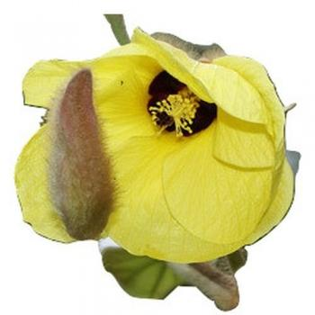 Hibiskus Macrophyllus, yellow flower, rare variety, 10 seeds