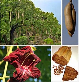 Kigelia pinnata,Sausage Tree, nice flower, heavy fruits, 10 seeds
