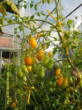 "Hungarian Tomatoe ""long yellow"", for traditional Hungarian, many many yellow tomatos, organic"