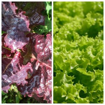 Old Hungarian farmer red and green salad MIX, 250 seeds