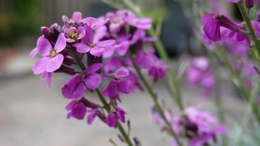 Matthiola Incana, summer flower MIX, 50 seeds