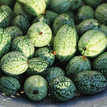 Hungarian (mexican) mini cucumber, refreshing taste and easy to grow, 10 seeds