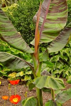 Musa Sikkimensis, Red Tiger, Darjeeling Banana, 8 seeds