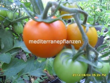 "Hungarian Tomato ""Orange Favorite"", compact orange, organic"