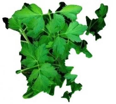 Hungarian large parsley, 100 seeds from our farm
