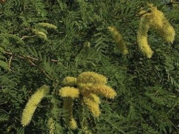 Prosopis cineraria, dry restistant flower tree,10 seeds