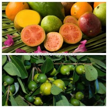 Psidium Guave, real Guava, delicious fruit,30 seeds