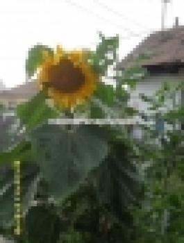 Hungarian XXL giant sunflower, many heads, yellow colour, 30 seeds