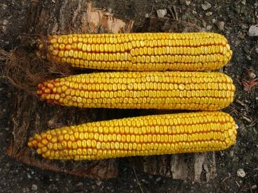 Historical Hungarian Giant bio corn, NO GMO, NO Hybride, 20 seeds