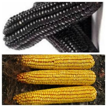 DUO: Historical Hungarian Giant corn and Black corn:  NO GMO, NO Hybride, 20 seeds + 20 seeds