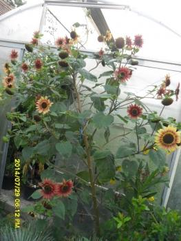 Hungarian XXL giant sunflower, many heads, red colour, 30 seeds