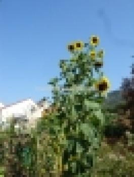 Hungarian XXXL sunflower, TITAN, the biggest, 20 seeds
