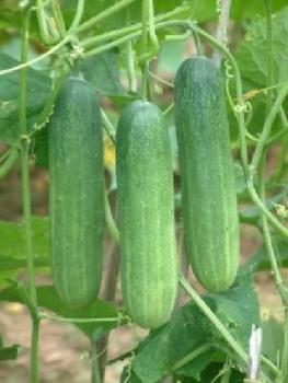 Hungarian  large BBQ cucumber, 10 seeds