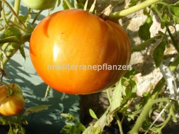 "Hungarian Tomato ""Sioux"", organic"