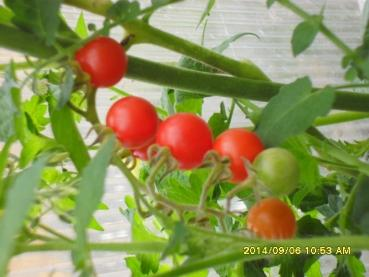 "Hungarian Tomato ""Wildcherry Cocktail"", high yield and organic"