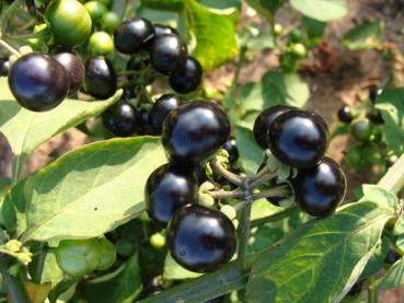 Solanum burbankii, sweet edible wonder berries, 10 seeds