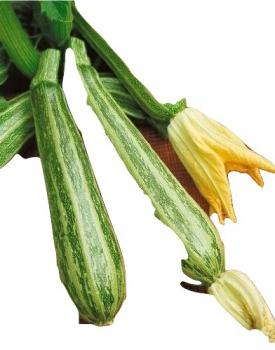Hungarian striped zucchini, squash, fast growing, high yield, organic from our farm, 10 seeds