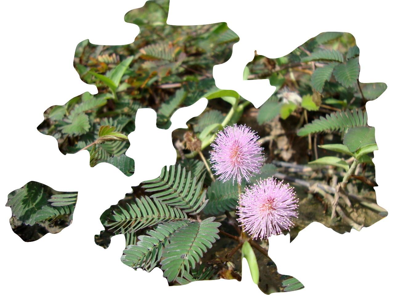 Mimosa Pudica,