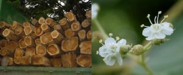 Teakbaum  teak baum, tectonia grandis - exotische Samen, KEINE GMO oder ...