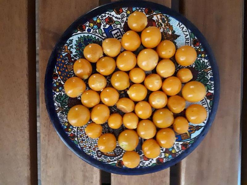 Aguaymanto,, Physalis, large fruits, 10 seeds